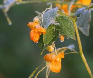 Jewelweed is a widespread and common plant that occurs in moist, semi-shady areas throughout northern and eastern North America. It often forms dense, pure stands in floodplain forests and around the forested edges of marshes and bogs. Jewelweed also colonizes disturbed habitats such as ditches and road cuts.