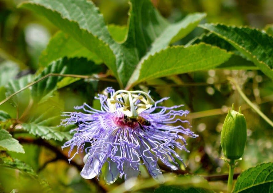 Maypop or Passion Fruit