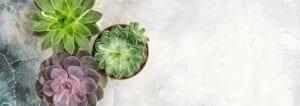 succulents header